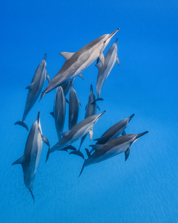 A Spinner Dolphin Wuzzle