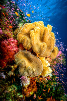 Leather Corals, Fiji