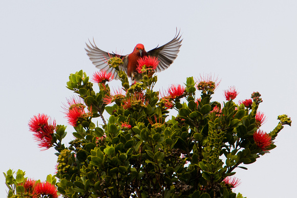 'Apapane on Ohia