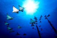 Spotted Eagle Rays at the Mahi