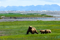 Mama Bear and Cubs, Hallo Bay
